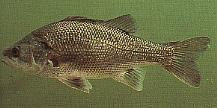 Image of bass 2.jpg