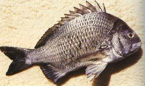 Image of bream.jpg
