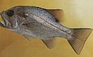 Image of pearl perch.jpg